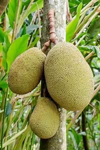 Jackfruit - Wikipedia