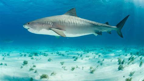 facts  tiger sharks mental floss