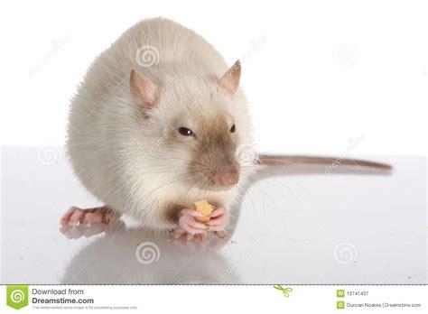 Pet White Rat Royalty Free Stock Photography - Image: 13741437