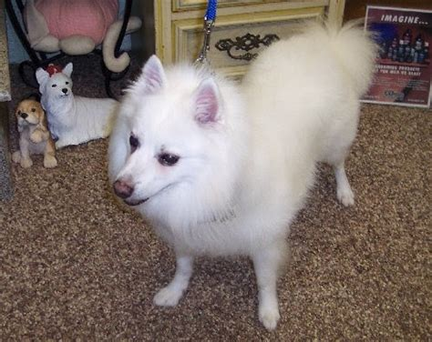 American Eskimo Shedding by The Healthy Grooming The American Eskimo