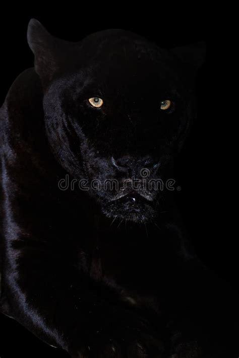 black jaguar panther closeup  jungle  black background