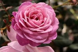 Rosen Im Topf überwintern : rosen schneiden wann erfolgt der rosenschnitt im herbst anleitung ~ Orissabook.com Haus und Dekorationen