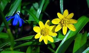 Blumen Im Frühling : der fr hling das scharbockskraut ist im zeitigen fr hjahr oft die erste bl hende pflanze ~ Orissabook.com Haus und Dekorationen