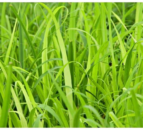 buy citronella grass 28 best citronella grass seeds for sale citronella products quality citronella products for