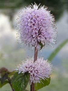 mentha aquatica water mint world of flowering plants