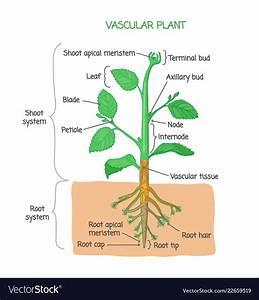 Vascular Plant Biological Structure Diagram Vector Image