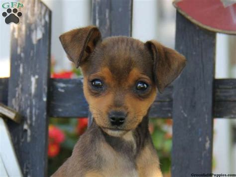 mini pinscher mix puppies search animals chihuahuas minis and puppys