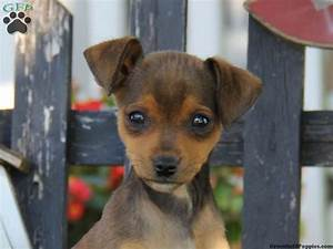 mini pinscher mix puppies - Google Search | Animals ️ ...