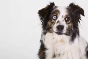 10 races de chiens au look incroyable le berger australien
