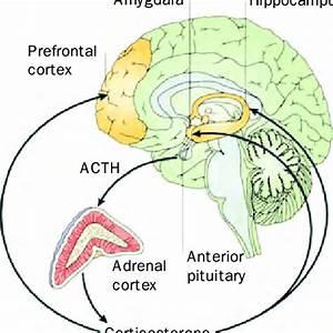 The Hypothalamic