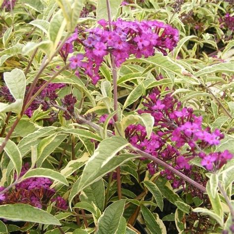 can i grow buddleia in a pot 25 best ideas about buddleja davidii on butterfly bush buddleia plant and where to