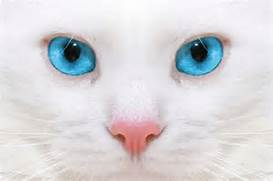 Por qu   los gatos blancos de ojos azules suelen ser sordos  White Baby Cat With Blue Eyes