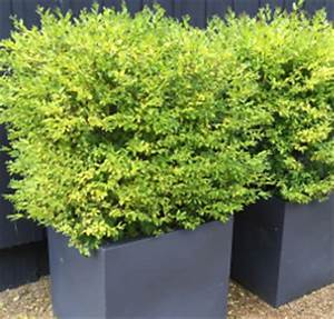 Arbuste Persistant En Pot : am nager d corer roue p pini res ~ Premium-room.com Idées de Décoration