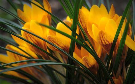 yellow crocus image - HD Desktop Wallpapers | 4k HD