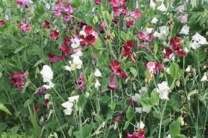 sweet peas lathyrus odoratus excellent cutting flower With katzennetz balkon mit garden sweet pea