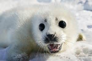 Cute Baby Harp Seal Pup