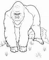 Coloring Gorilla Animals Printable Animal Realistic Jungle Topcoloringpages Single sketch template