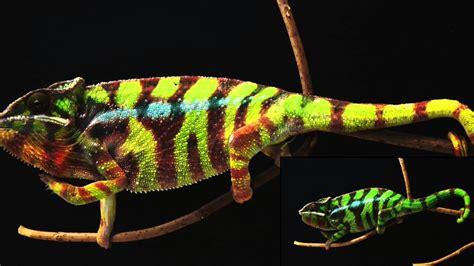 chameleon change color this is how chameleons change color myscienceacademy org