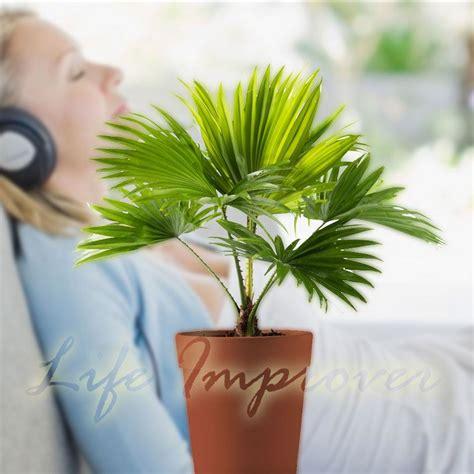 palmier en pot interieur 1 palmier en pot int 233 rieur plante jardin tropical repose pieds ventilateur palm windmill palm ebay