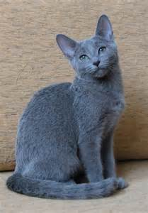 russian blue cat for russian blue here kitty kitty kitty