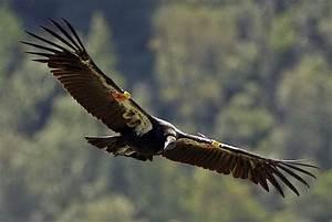 Lead Contamination Hindering California Condor In Southern