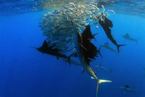 peces vela cazando bbc planet earth animales en video