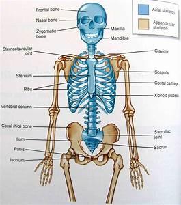 Appendicular Skeleton System Anatomy