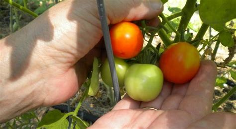 Windowsill Tomatoes by 6 Secrets To Gardening With No Yard The Grid News