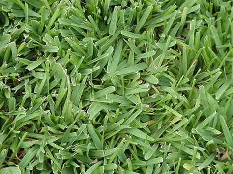 How To Grow Paspalum In Uganda
