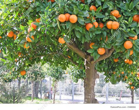 sour orange tree stock photo   featurepics