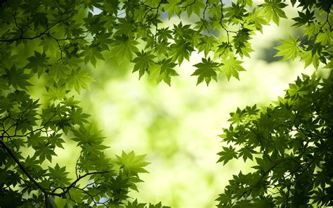 green maple leaves wallpapers hd wallpapers id