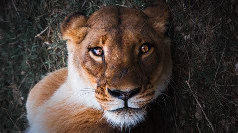 wallpaper lioness female lion close   animals