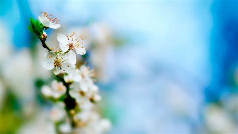 white flower hd wallpapers