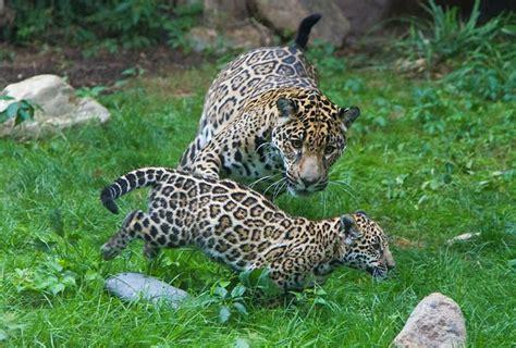 coolest jaguar cat 17 best images about cats on jaguar