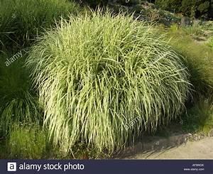 Miscanthus Sinensis Variegatus : chinese silver grass zebra grass tiger grass miscanthus sinensis stock photo royalty free ~ Eleganceandgraceweddings.com Haus und Dekorationen