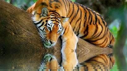 Tiger Desktop Wallpapers Nature Backgrounds Tigers Cats