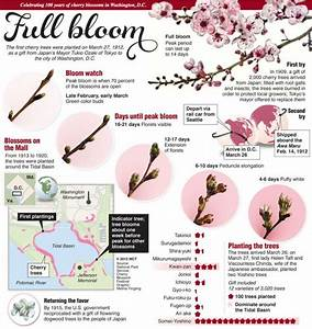 Cherry Blossoms Full Bloom Infographic