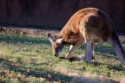 Kangaroo Side Animal Nullarbor Australian Animals Plain
