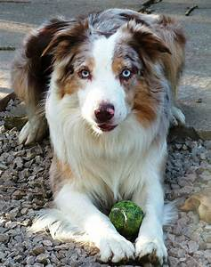 1000+ images about border collie on Pinterest | Border ...