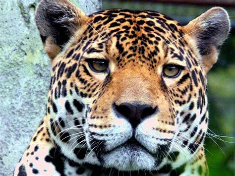 Jaguar Backgrounds by Jaguar Wallpapers Wallpaper Cave