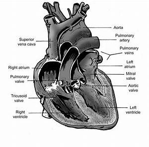 Cow Heart Diagram Printable
