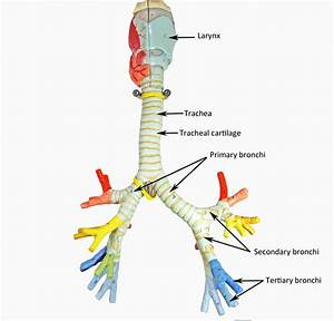 Larynx  Trachea And Bronchi
