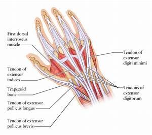 Hand Tendons