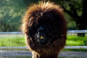25 Alpacas with the Most Amazing Hair Ever «TwistedSifter  Funny