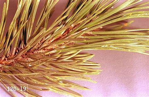christmas tree douglas fir pine needle scale pacific