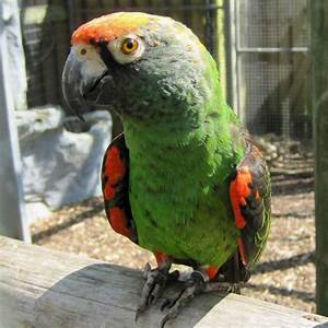jardine parrot facts care as pets pictures