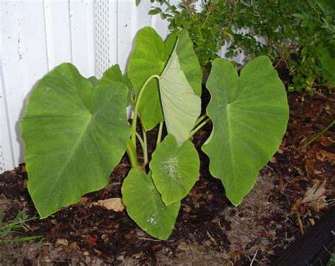 caring for elephant ear plants grow elephant ear plant care image search results