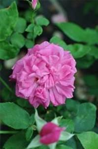 Alte Rosensorten Stark Duftend : rosensorten duftrosen sam samantha samara samaritan ~ Michelbontemps.com Haus und Dekorationen