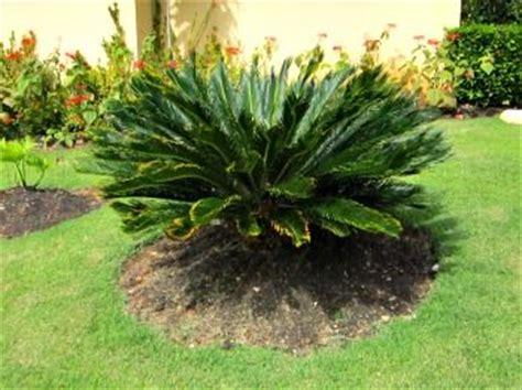 wwwpalmtreepassioncom young sago palm tree flower beds