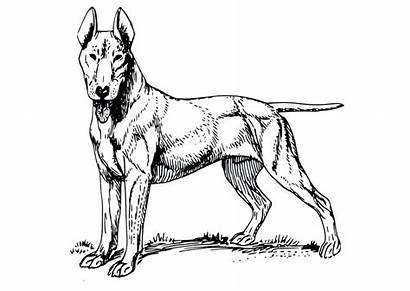 Bull Terrier Coloring Dog Pages Dane Getdrawings